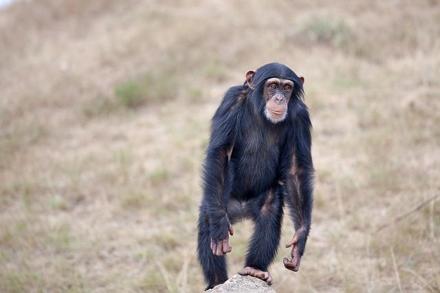 šimpanz na dvou nohách