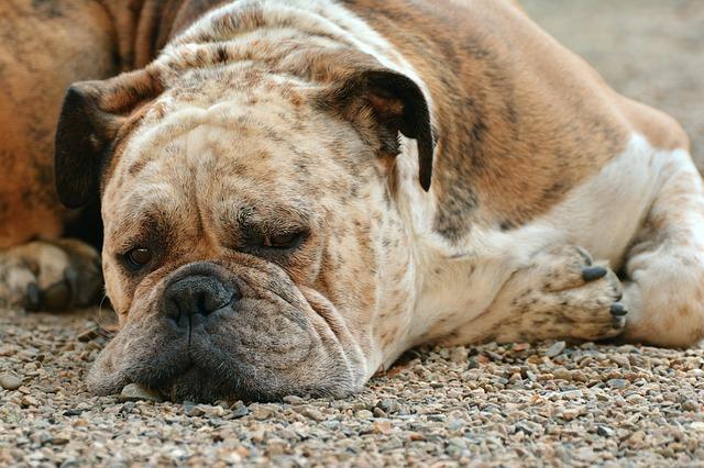 Obezita u psov je nebezpečná rovnako ako u ľudí