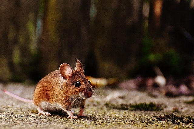 Hnedá myš pri ceste.jpg